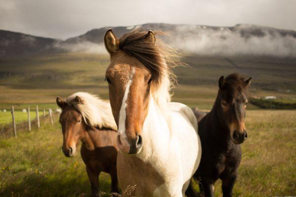 hoer og vitaminer til heste
